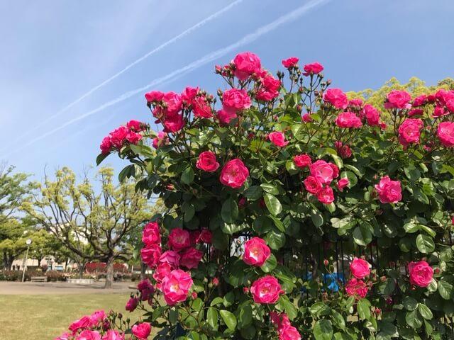 【福山市】ばら公園のバラが見頃になりつつあります。今年のばら祭りはまもなくです!